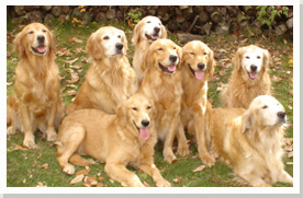 Labyrinth Goldens - Finding the Right Breeder | Golden